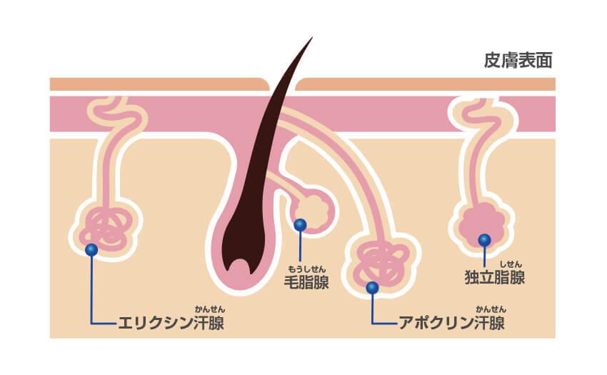 皮膚表面と汗腺のイメージ図
