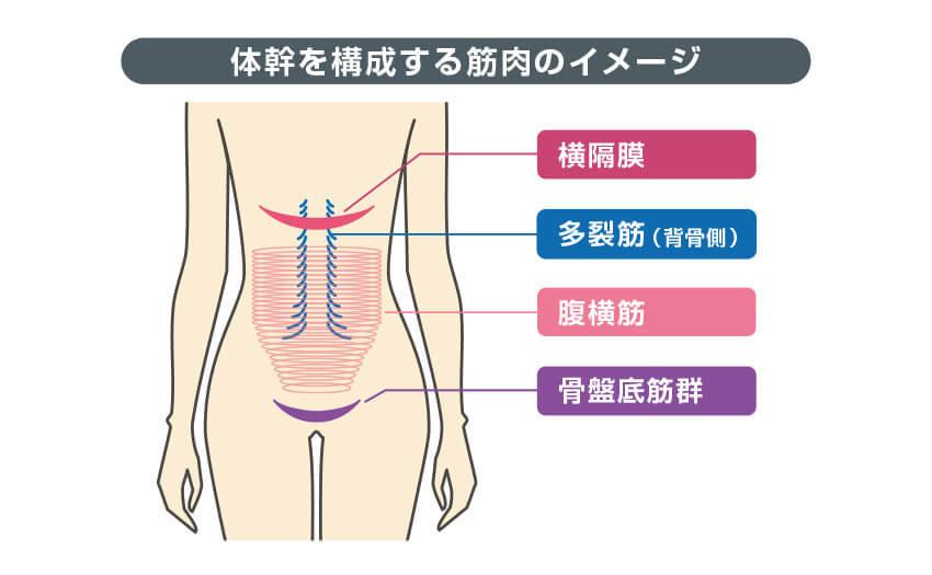 体幹を構成する筋肉のイメージ