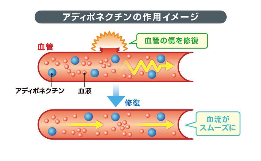 アディポネクチンの作用イメージ
